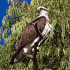 Osprey in tree by mncphotography