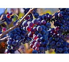 Saw it on the Grape Vine Photographic Print
