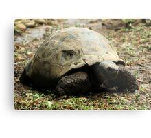 Giant Tortoise Metal Print