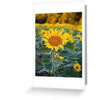 Fields Tallest Sunflower Greeting Card