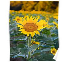 Fields Tallest Sunflower Poster
