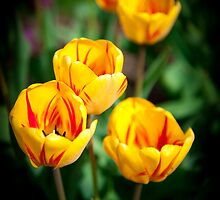 Yello Tulips by Mike O'Brien