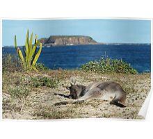Sleepy Kangaroo Poster