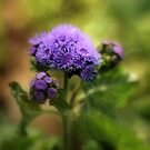 Ageratum by Jessica Jenney