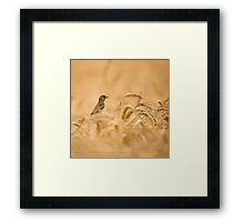 Female House Sparrow (Passer domesticus) in a wheat field.  Framed Print