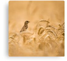 Female House Sparrow (Passer domesticus) in a wheat field.  Canvas Print