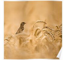 Female House Sparrow (Passer domesticus) in a wheat field.  Poster