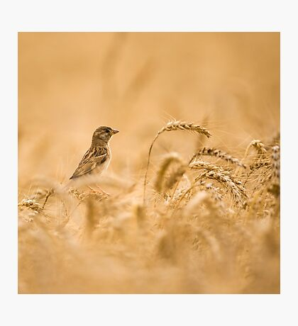 Female House Sparrow (Passer domesticus) in a wheat field.  Photographic Print