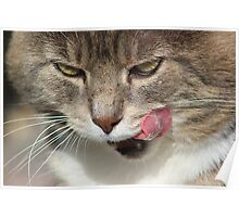 Cat licking lips Poster
