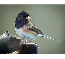 Pink Sided Junco Photographic Print