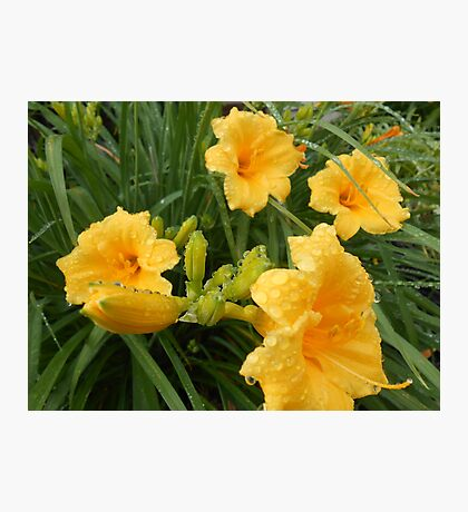 group of day lilies Photographic Print