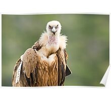 Close up portrait of a Griffon Vulture (Gyps fulvus),  Poster