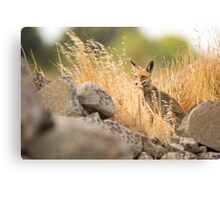 Red Fox (Vulpes vulpes) in the wild Canvas Print