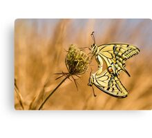 Two mating Southern swallowtail (Papilio alexanor) butterflies Canvas Print