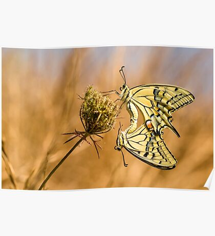 Two mating Southern swallowtail (Papilio alexanor) butterflies Poster