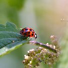 """ Harlequin Ladybird "" by Richard Couchman"