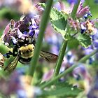 Bumble Bee on Purple Flowers by ACImaging