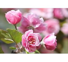 Apple Blossoms - Flowers - Photograph Photographic Print