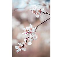 Spring Cherry Delight Photographic Print