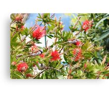 Sparrows in the bottle brush bush Canvas Print