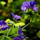 Wild Blue Geraniums .......Dorset UK by lynn carter