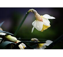 Daffodil Photographic Print