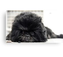 The Affenpinscher (translated from German as Monkey-Terrier) Canvas Print