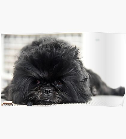 The Affenpinscher (translated from German as Monkey-Terrier) Poster