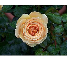 Apricot Rose .. after the rain 5 Photographic Print