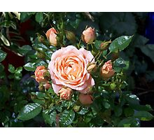 raindrops on roses in the sunshine Photographic Print