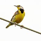 Meadowlark on a Wire by lorilee