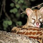 A Greater Spotted Genet by jozi1