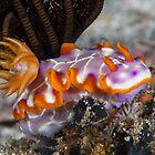 Fishnet Hypselodoris by Mark Rosenstein