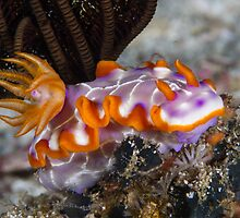 Fishnet Hypselodoris by Mark Rosenstein