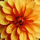 June Dahlia by Sue Morgan