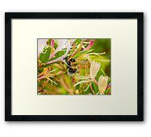 Bumble bee on honeysuckle Framed Print