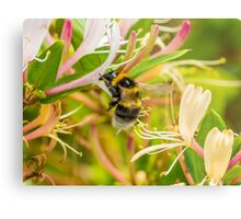 Bumble bee on honeysuckle Metal Print