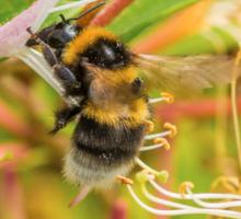 Bumble bee on honeysuckle Sticker