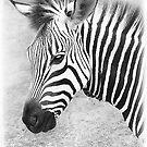 Zebra Stripes by Dyle Warren