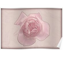 Pink English rose as seen from above  Poster