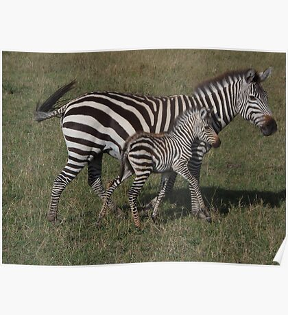 Mother & Baby Zebra Poster