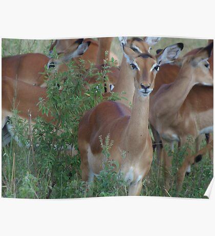Impala on the Masai Mara National Park Poster