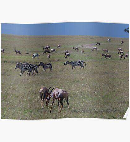 Topi & Zebra on the Masai Mara National Park Poster