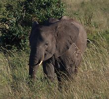 Infant Elephant on the Masai Mara by KACPhotos