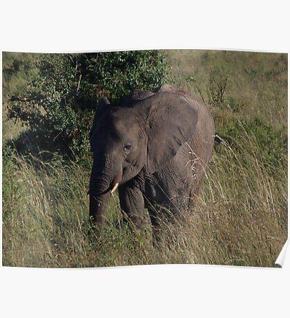 Infant Elephant on the Masai Mara Poster