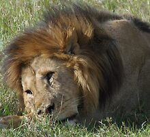 Lion lounging after dinner by KACPhotos