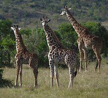Masai Giraffe Herd by KACPhotos