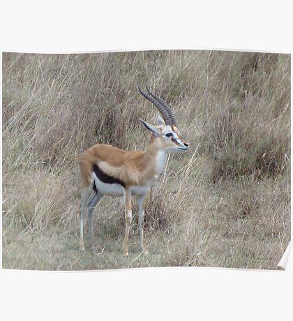 Infant Thomson's Gazelle on the Masai Mara Poster