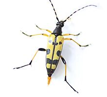 Yellow spotted longhorn beetle  by missmoneypenny