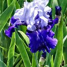 Iris Best Bet by Susan Savad